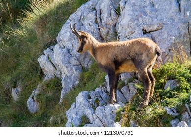 chamois of abruzzo national park of abruzzo