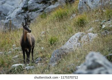 chamois of Abruzzo Rupicapra pyrenaica ornata Neumann, 1899