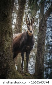 chamois among the trees silent observer - Shutterstock ID 1666543594