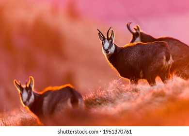 Chamois in beautiful morning light
