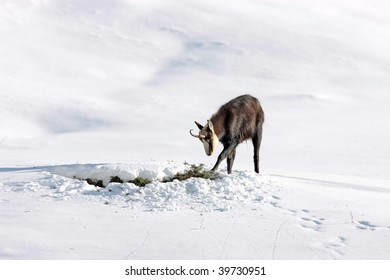 Chamois buck looking for food in the snow