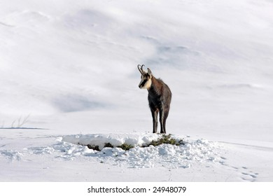 Chamois buck in the snow looking for food