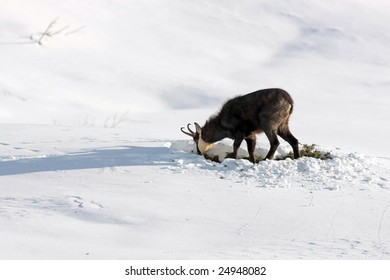 Chamois eating grass in the snow