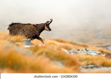 Chamois and fog, Rupicapra rupicapra, on the rocky hill with autumn grass, mountain in Gran Paradiso, Italy. Wildlife scene in nature. Animal with horn in the habitat.v Foggy day in Alps.