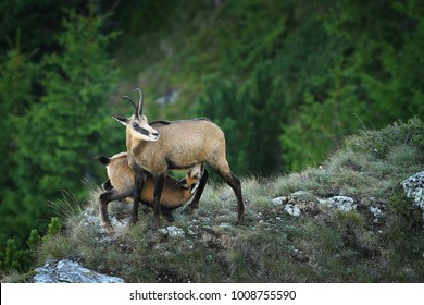 chamois goat  feeding her youngster ( Rupicapra ); wild animals in natural habitat, Ceahlau mountains, Romania