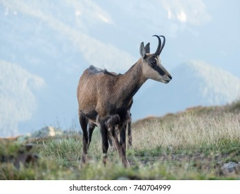 Chamois in Low Tatras. Rupicapra rupicapra. Stones and mountains in background.