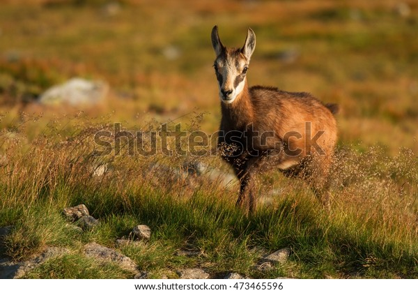Chamois in the mountains - Slovak Republic. Chamois (rupicapra rupicapra tatrica) in mountains with blurred background.