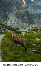 Chamois on the grass in mountains