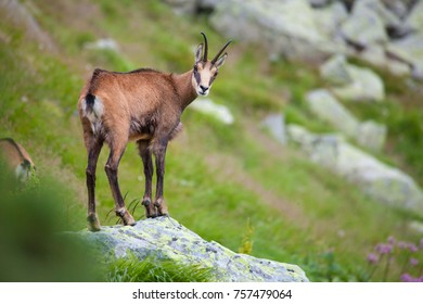 Chamois on the top of rock in High Tatras