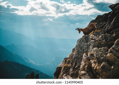 Chamois, Rupicapra rupicapra, dark blue sky and mountains in background