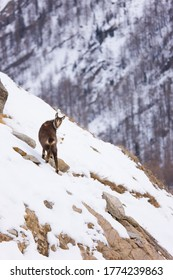 Chamois, Rupicapra rupicapra, in Gran Paradiso National Park in the Graian Alps, between the Aosta Valley and Piedmont regions of Italy in Europe