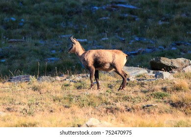Chamois (Rupicapra rupicapra) in high Valnontey, in the Gran Paradiso National Park