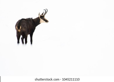 Chamois (Rupicapra rupicapra) on white background, isolated, high-key, portrait.