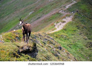 chamois-rupicapra-species-goatantelope-n