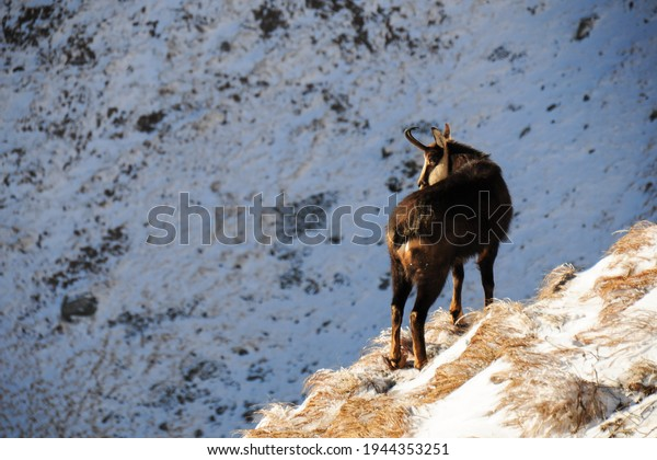 The chamois (Rupicapra rupicapra) is a species of goat-antelope native to mountains in Europe. Wild chamois during freezing winter days. High Tatras National Park, Slovakia.