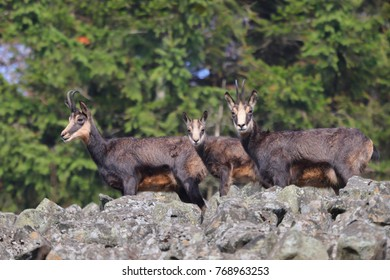 Chamois, Rupicapra Rupicapra, In The Stone Hill, Grey Rock In Background,  Studenec