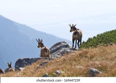 Chamois (Rupicapra rupicapra tatrica) in mountain High Tatras, Slovakia.
