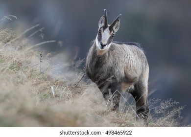 Chamois (Rupicapra rupicapra)  Vosges Mountains, France