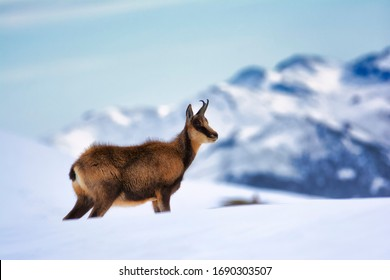 Chamois in the snow on the peaks of the National Park Picos de Europa in Spain. Rebeco,Rupicapra rupicapra.