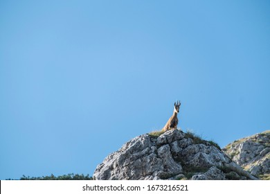 Chamois standing on the top of the rock in the Durmitor National Park