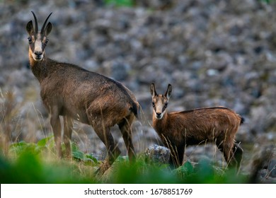 The chamois stands in the stony slope. Wild animal in its natural environment.