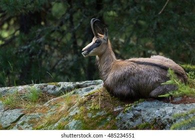 A chamois in the Swiss Alps