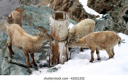 chamois in switzerland