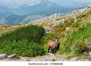 Chamois in Tatra mountains