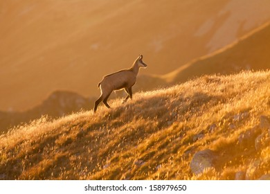 A chamois walking on the meadow at sunrise