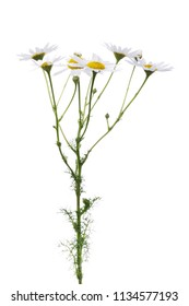 Chamomile branch isolated on white background