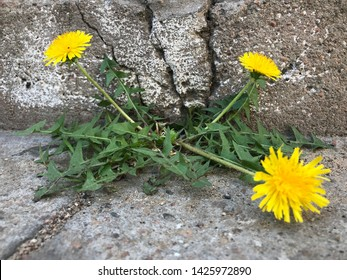 Chamomile breaking through a crack in the concrete. Green plant growing in the concrete. The concept of survival, struggle and breakthrough.