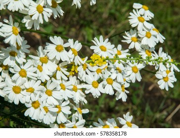 Chamomile or camomile flowers. Herbaceous plants with buds, have to-ryh petals are usually white, and the middle yellow. The drug infusion or powder from the flowers of this plant.