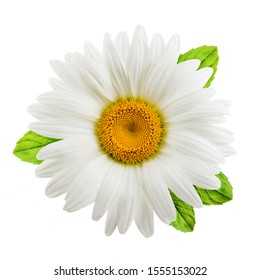 Chamomile or camomile flowers with mint leaves isolated on white background