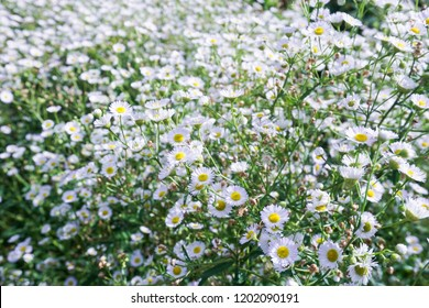 Chamomile or Camomile  flowers on green field.