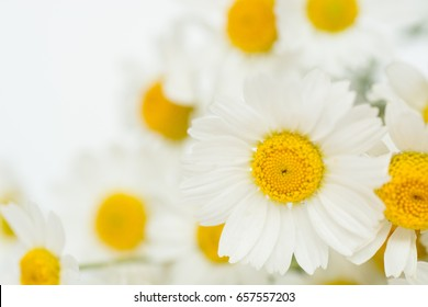 Chamomile or camomile flowers  on white background.