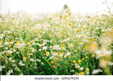 Chamomile (camomile) meadow