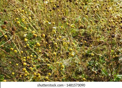 Chamomile or Camomile multiple daisy like plants with open blooming and partially closed flowers without petals surrounded with dry grass on warm sunny summer day