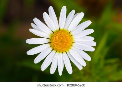 Chamomile close up. White daisy flowers. Shallow depth of field - Shutterstock ID 1028846260