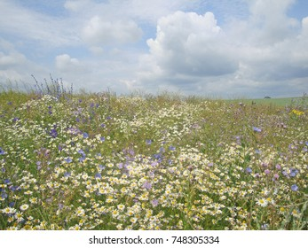 chamomile and cornflowers under a blue sky with curly clouds