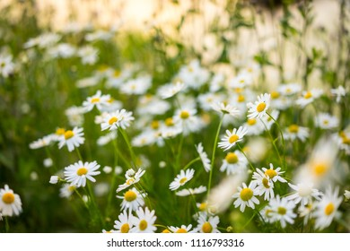 chamomile daisy field flower background background