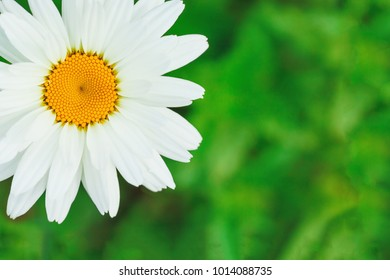 Chamomile daisy flower. Closeup macro shot with shallow depth of field and green blurry background. Nature concept