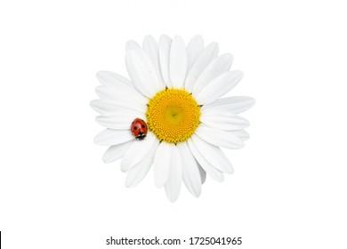 Chamomile or daisy flower with ladybug isolated on white background.