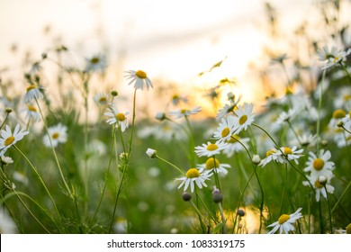 Chamomile daisy spring flowers in the field outdoor. Sky and sun glare on background. Medicinal plants, natural health and beauty