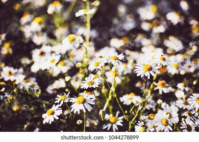 chamomile in the field, background