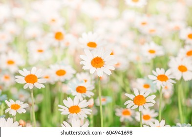 Chamomile field flowers border. Beautiful nature scene with blooming medical chamomilles in sun flare. Alternative medicine Spring Daisy. Beautiful meadow. Summer background.