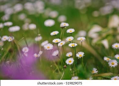 Chamomile field flowers border. Summer flowers. Beautiful meadow. Summer background.