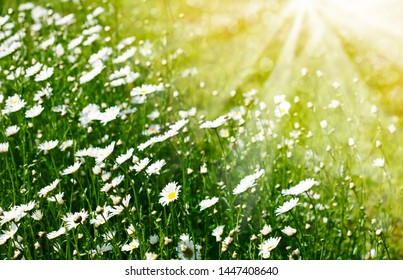 Chamomile field flowers. Summer flowers. Beautiful meadow. Summer background with daisy flowers in sun flare.