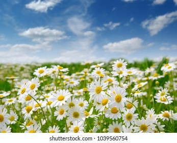 Chamomile field and  sky cloud background