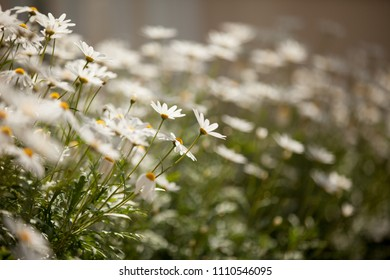 Chamomile flower background. Daisy flowers bokeh background. Nature photography