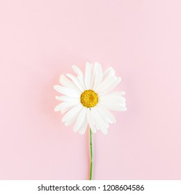 Chamomile flower beautiful and delicate on pink background